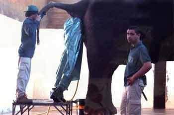 pior-emprego-MUNDO-limpador-bunda-elefante-anus-coco-elefante-inseminacao